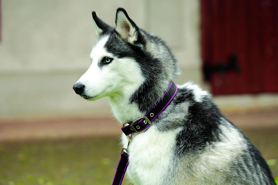 Amigo Dog Collar image 1