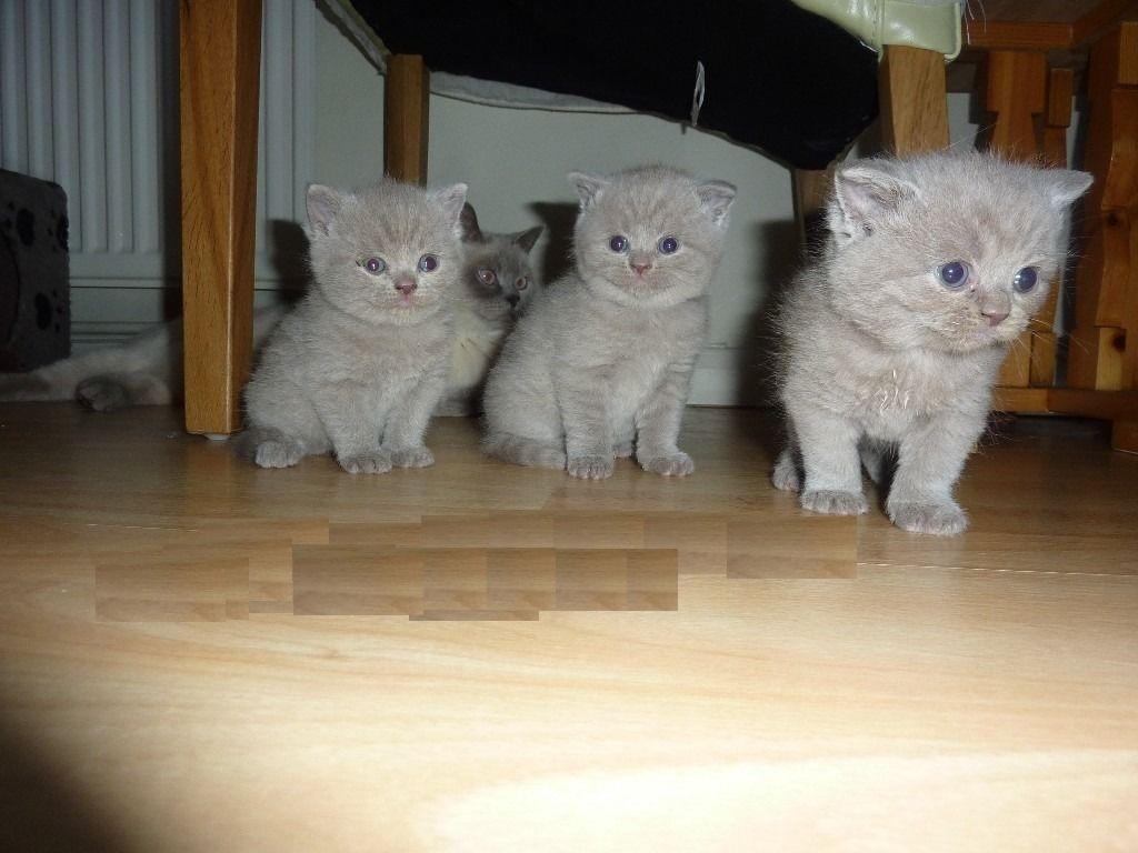 British shorthair kittens gccf registered available image 2