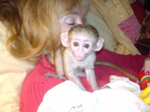 cute capuchin monkeys Ready For a new homes image 1