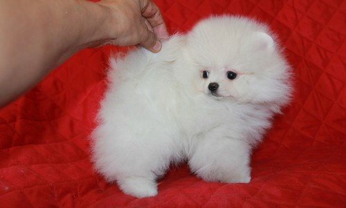 Pure White Pomeranian Puppies. image 1