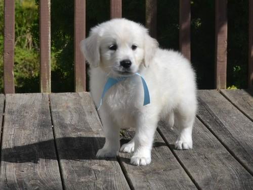 Golden Retriever Puppies. image 2